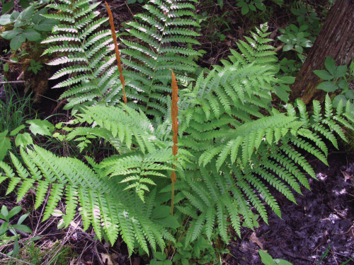 In deciduous woods, cinnamon ferns grow three feet tall in a circle and about four feet wide.