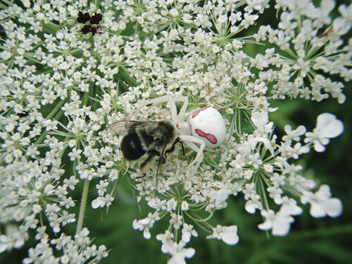 A white goldenrod crab spider ambushes a bumblebee on a Queen Anne's lace flower