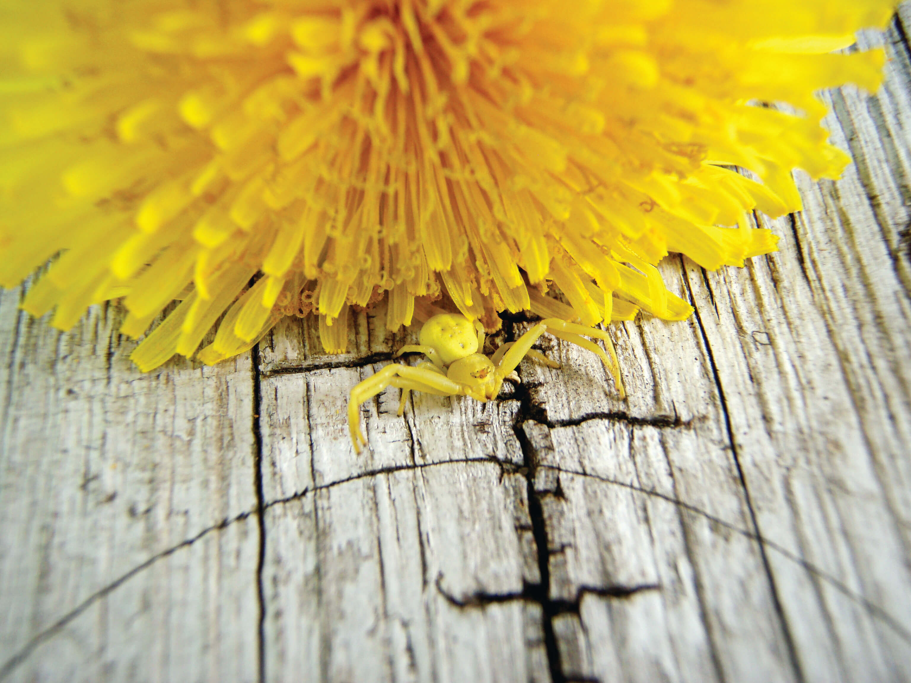 Camouflaged on a dandelion, the goldenrod crab spider waits to capture a passing insect