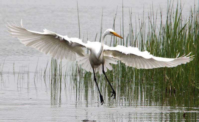 Great Egrets – Great Lakes Bay Magazine